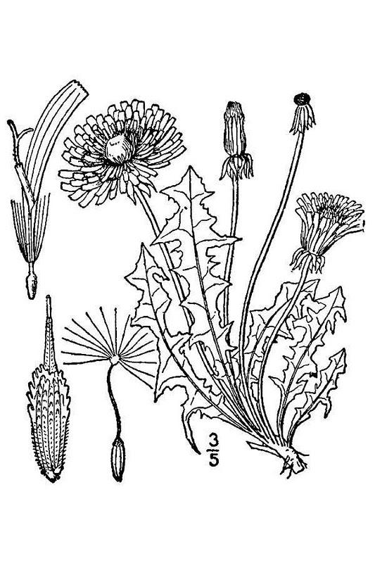 Dandelion Flower Line Drawing : Dandelion leaf drawing