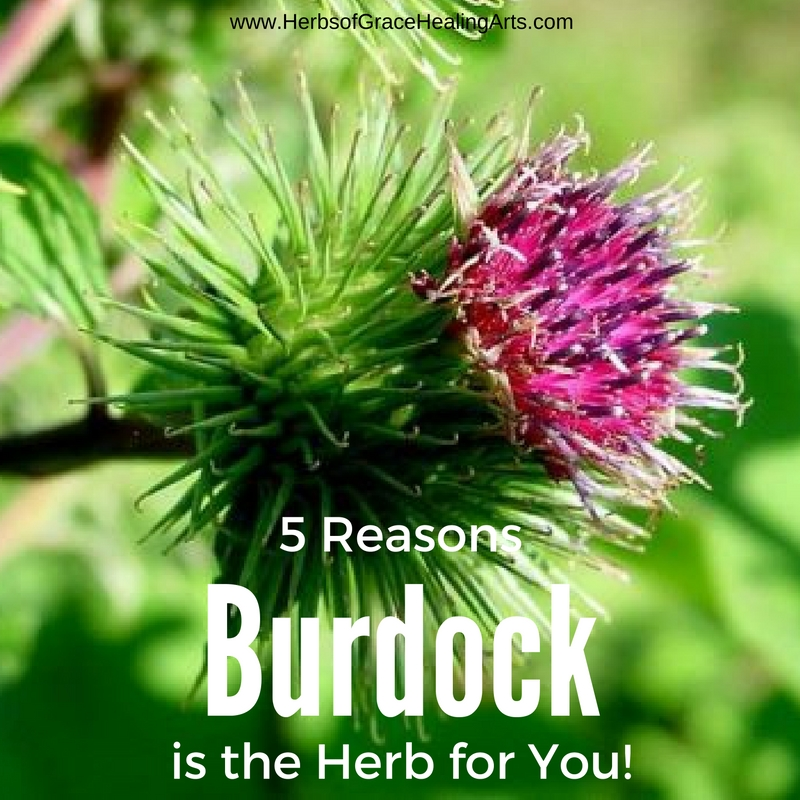 5 Reasons Burdock Is Herb For You
